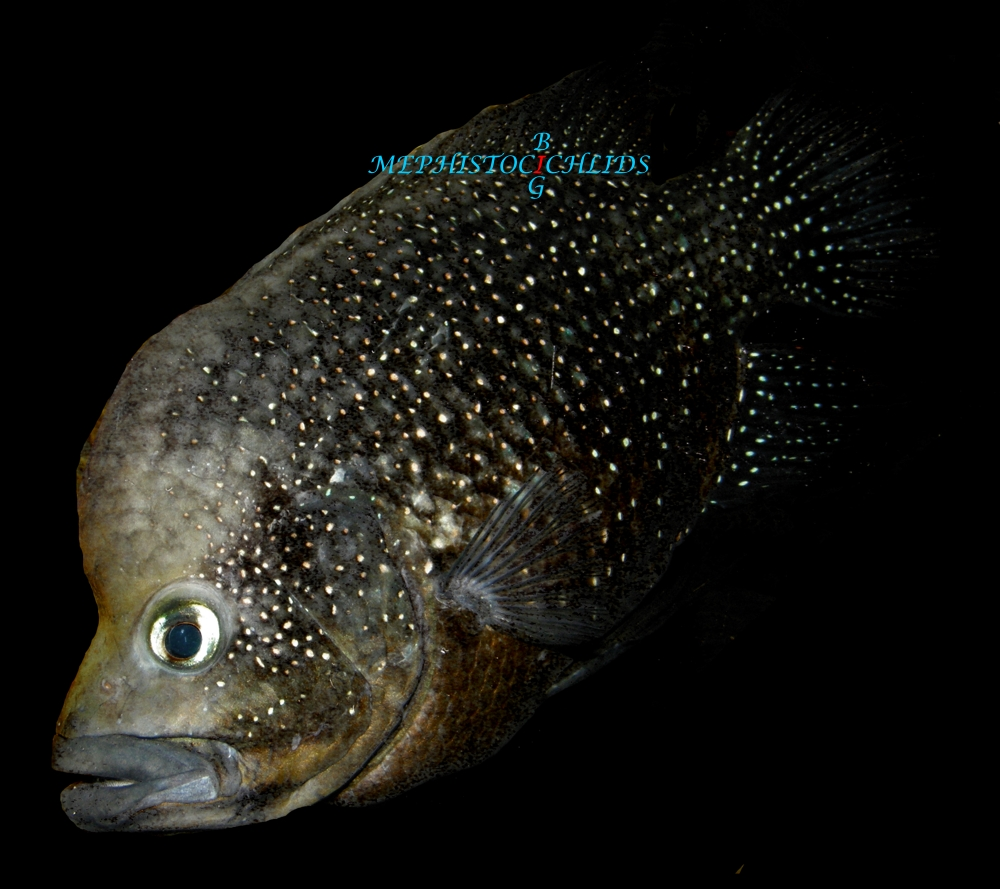 Polleni Related Keywords & Suggestions - Paratilapia Polleni ...